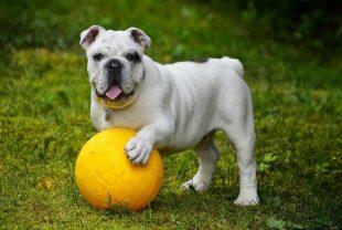Cohabiter avec un Bulldog