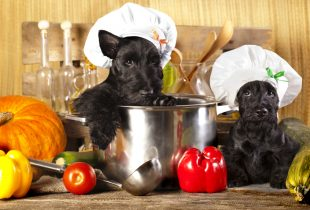 Tout ce qu'il faut savoir sur l'alimentation du Scottish Terrier